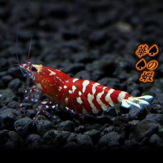 華之蝦.jpg