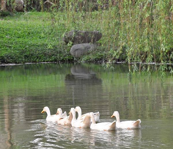 12池塘中的鴨子