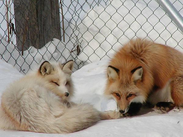狐狸村內悠閒的狐狸