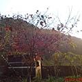 山中湖楓紅