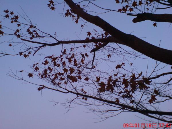黃昏時的楓紅