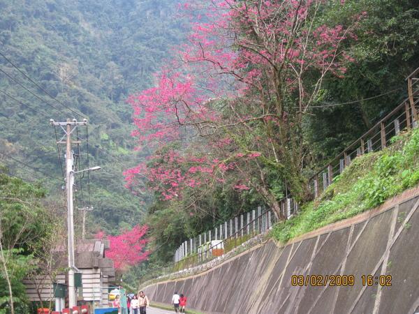 沿途櫻花2