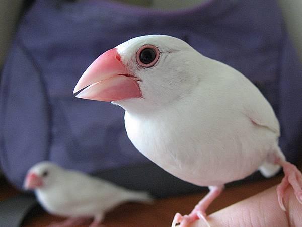 白文鳥 取自維基百科