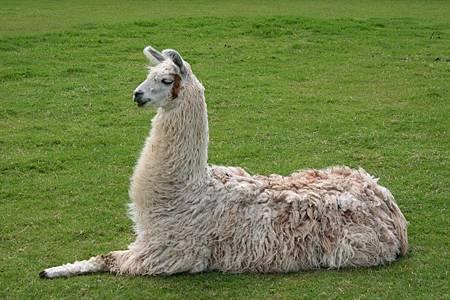 0 美洲駝 (大羊駝)Llama_lying_down(維基百科)2