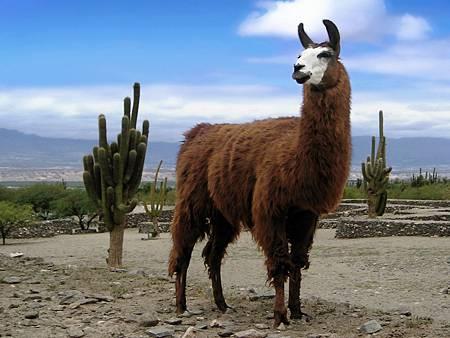 1 美洲駝(大羊駝)Lama_animal(維基百科)