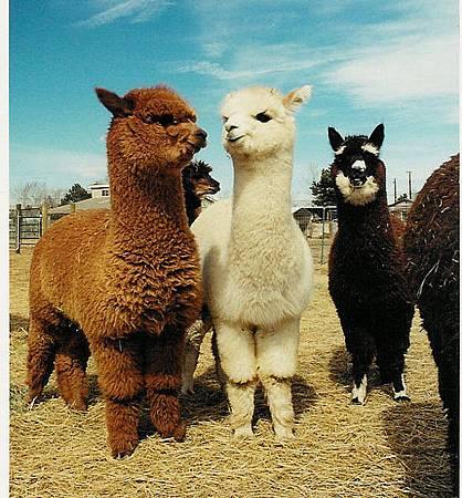 4 羊駝 Alpaca medium_2567782401