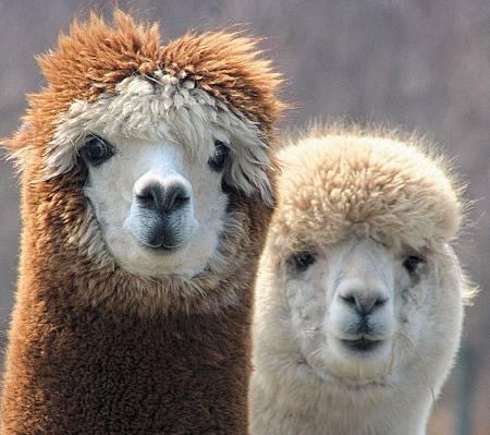 0 羊駝 Alpaca medium_455917864