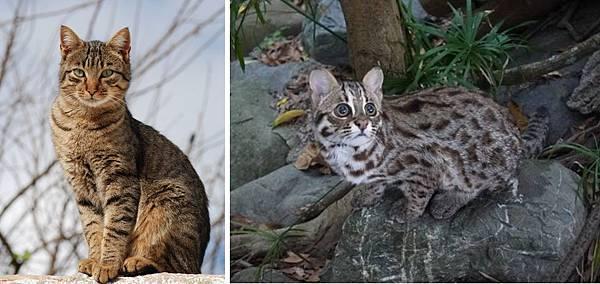 石虎的外觀,和家貓很像_cr