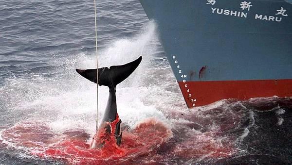 日本人假借科學名義捕鯨,仍是因為鯨的商業利益 (圖/翻攝自tagesschau.de)