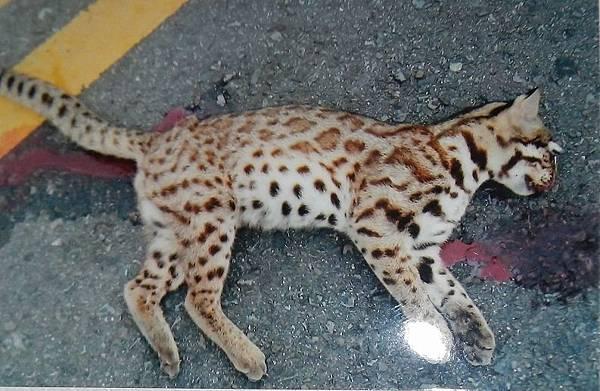 路邊石虎的屍骨,是重視保育者心理的痛(圖/翻攝自農委會林務局)
