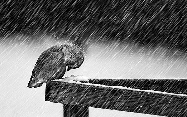 wallpaper-raining-bird-wet-weather