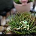 青蛙杯緣子扭蛋_18.JPG