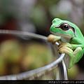 青蛙杯緣子扭蛋_22.JPG