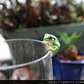 青蛙杯緣子扭蛋_25.JPG