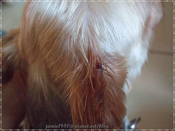 剪毛時耳朵被剪一塊