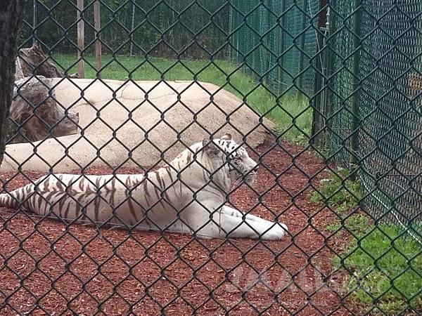 美國緬因州-約克動物園York Zoo-白虎