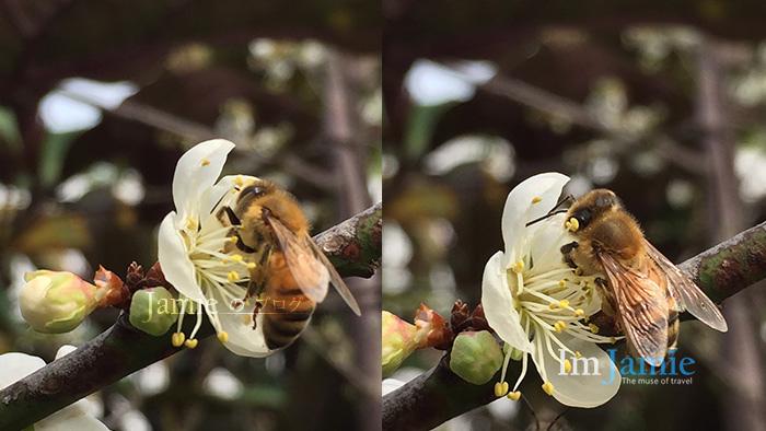 Jamie糯米 部落個 梅山公園蜜蜂.jpg