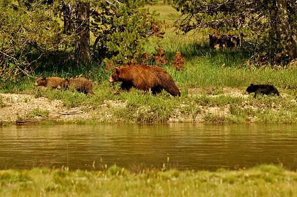 每年的這個時候,優勝美地的黑熊讓古老到羞恥。 為了準備數月的冬眠,熊會經歷食慾亢進,每天要攝入多達20,000卡路里的熱量! 秋天提供了熱量特別豐富的食物,所以熊會在這時後暴食。 這聽起來像是一個夢想,但是要有足夠的脂肪儲存進入休眠狀態,對於熊的生存和繁殖能力至關重要。  因為每年的這個時候熊特別餓,所以食物和其他有氣味的物品的適當存放與以往一樣重要! 穿越道路時,經常會撞熊旅行尋求食物,遊客在駕駛時應格外小心並遵守速度限制。