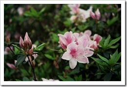 杜鵑花 #2