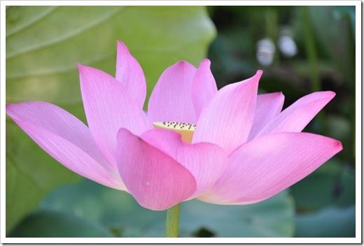 花瓣略帶透明的荷花