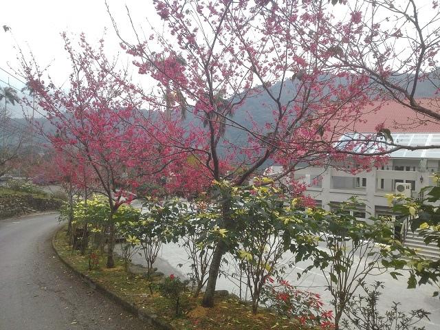 玉神櫻花3
