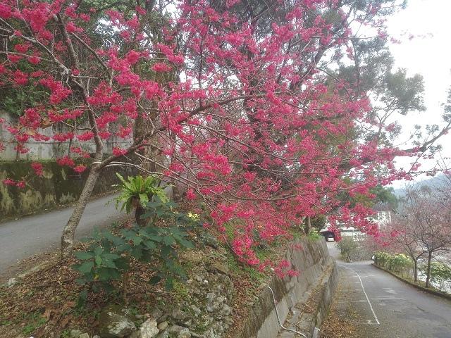玉神櫻花4