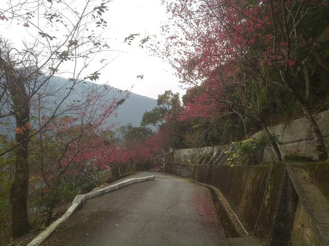 玉神櫻花10
