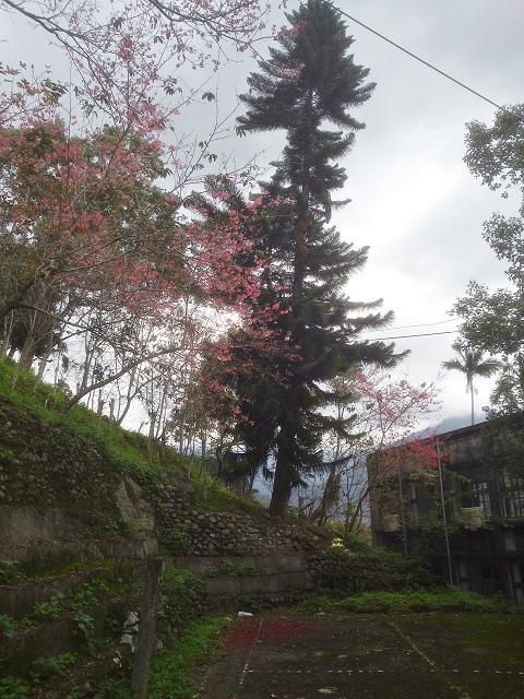 玉神櫻花11
