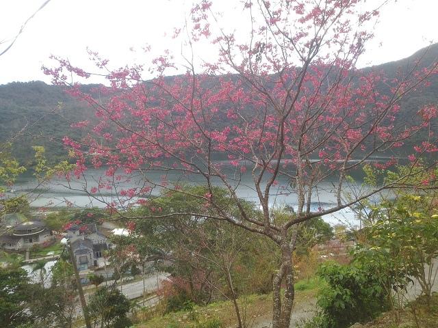 玉神櫻花12