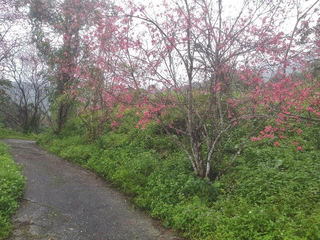 樹湖櫻花&瀑布7