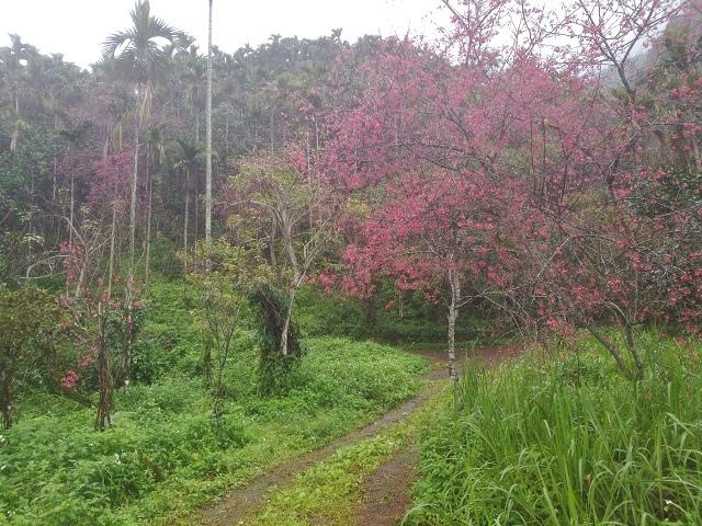 樹湖櫻花&瀑布8