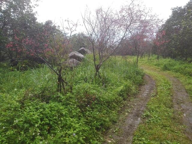 樹湖櫻花&瀑布11