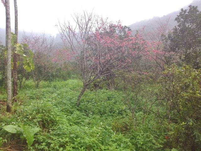 樹湖櫻花&瀑布12
