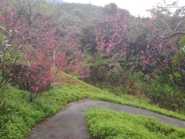 樹湖櫻花&瀑布13
