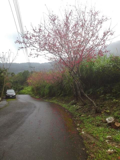 樹湖櫻花&瀑布34