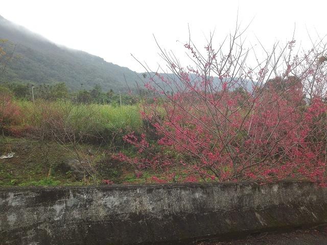 樹湖櫻花&瀑布41