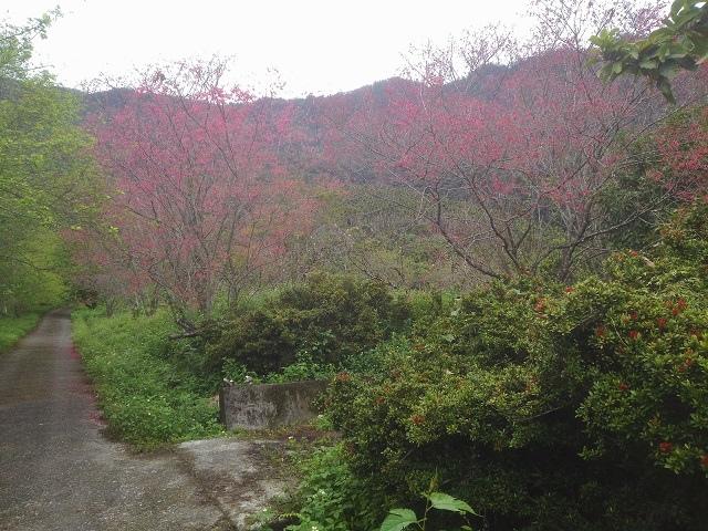 樹湖櫻花&瀑布44