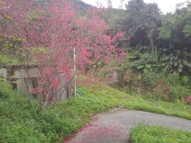 樹湖櫻花&瀑布43