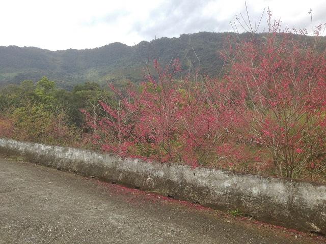樹湖櫻花&瀑布51