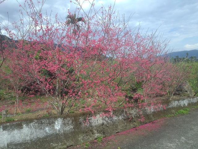 樹湖櫻花&瀑布54