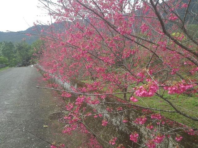 樹湖櫻花&瀑布56