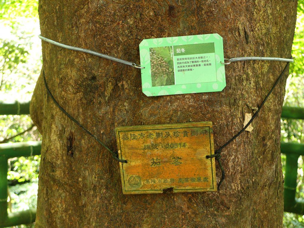 茄冬樹.JPG