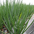 長大中的宜蘭三星蔥