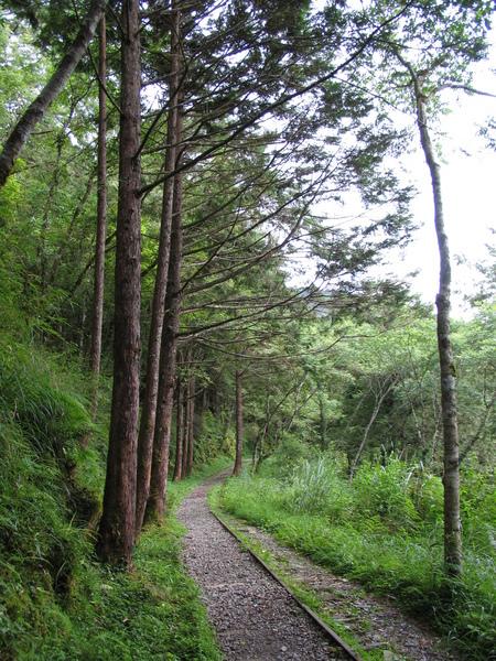 見晴懷古~杉樹林邊的鐵道