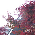 細雨中太平山的深紅色槭樹