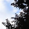 天空下的槭樹剪影