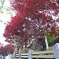 太平山莊的槭樹階梯