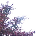 過曝的紅色槭樹