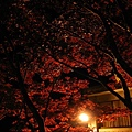 夜裡的槭樹