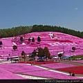 20130513_東藻琴芝桜